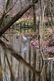 Great blue heron wading on waterside in a forest Stock Image