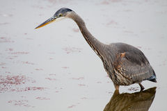 Great Blue Heron. A great blue heron waits patiently for its next meal. Notice how still the water and reflection are in this image, sometimes waiting can really Royalty Free Stock Photography