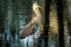 Great Blue Heron at Wakodahatchee Stock Photos