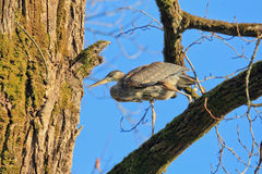 The great blue heron walk on the tree Royalty Free Stock Photography