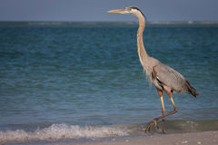 Great Blue Heron. A great blue heron walking along the surf at Fort De Soto, Florida Royalty Free Stock Photo
