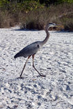 A Great Blue Heron Walking on the Beach Stock Images
