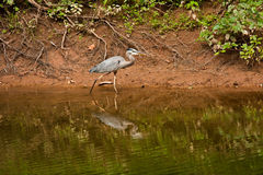 Great Blue Heron Walking at Edge of Creek Royalty Free Stock Photography