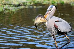 Great Blue Heron walking with fish Stock Images