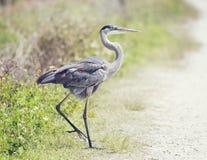 Great Blue Heron walking Stock Photography