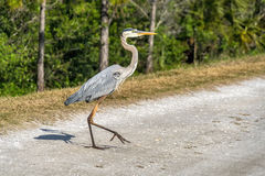 Great Blue Heron Walking Stock Photography