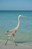 Great Blue Heron Walking on a Gulf Coast Beach Stock Photo