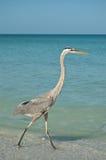 Great Blue Heron Walking on a Gulf Coast Beach. A Great Blue Heron walking in the shallow waters of a Gulf Coast Florida beach Stock Photo
