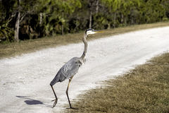 Great Blue Heron Walking Stock Photo