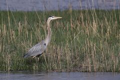 Great Blue Heron in the Shallows. Great Blue Heron walking through the shallow water in Augustine Wildlife Area in Central Delaware royalty free stock photo