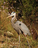Great blue heron walking. Great blue heron standing in the grass Royalty Free Stock Image