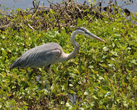 Great blue heron walking by waters edge Royalty Free Stock Photo