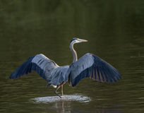 Great Blue Heron walking with wings open Stock Photography