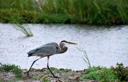 Great Blue Heron walks in a coastal wetland Royalty Free Stock Image