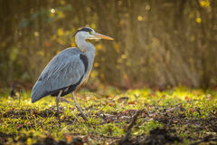 Great blue heron walks in a forest Royalty Free Stock Photography