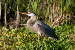 Great blue heron walks through marsh Stock Image