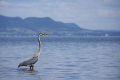 Great blue heron. Walks in water with mountains in background Stock Photography