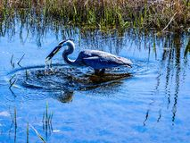 Great Blue Heron wins the battle stock photo