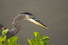 Great Blue Heron watching a crab. A Great Blue Heron intently watching a crab Royalty Free Stock Photos