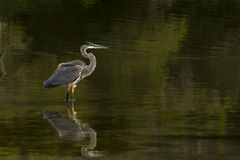Great Blue Heron in water Royalty Free Stock Photos