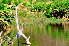 Great blue heron in water Stock Images