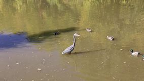Great Blue Heron in the water. stock video