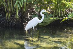 Great blue heron in the water is catching a frog Royalty Free Stock Photography