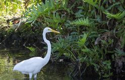 Great blue heron in the water is catching a frog royalty free stock photo