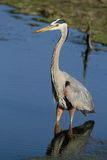 Great blue heron in water Stock Photo
