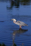 Great Blue Heron in Water Eating a Fish Royalty Free Stock Photo
