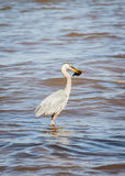 Great Blue Heron in water with fish. Great blue heron standing in ocean eating caught fish. Prince Edward Island, Canada Royalty Free Stock Photo