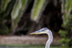 The Great Blue Heron on the Water at Malibu Beach in August. (Bird Royalty Free Stock Image