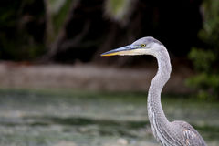 The Great Blue Heron on the Water at Malibu Beach in August. (Bird Stock Photo