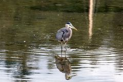 The Great Blue Heron in the Water at Marina stock photography