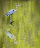 Great Blue Heron with water reflection. Royalty Free Stock Photos