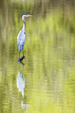 Great Blue Heron with water reflection. Royalty Free Stock Photo
