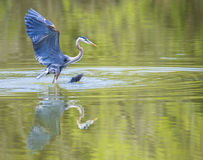 Great Blue Heron with water reflection. Stock Images