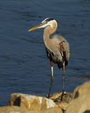 Great Blue Heron. At waters edge Stock Photography