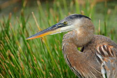 Great Blue Heron in Wetland Royalty Free Stock Images