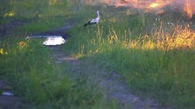 Great blue heron in wetlands. stock video