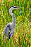 Great Blue Heron in wetlands Stock Image