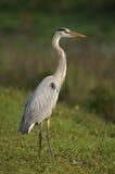 Great Blue Heron (White morph), (Ardea herodias) Royalty Free Stock Image