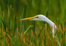 Great Blue Heron - white morph (Ardea herodias) Royalty Free Stock Images