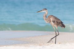 Great Blue Heron on a white sandy beach with waves in the background. In Florida stock photography
