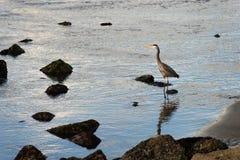 Great Blue Heron Wild Bird Animal Wildlife River Hunter Royalty Free Stock Photo