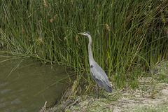 Great blue heron in the wild Stock Photography