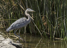 Great blue heron in the wild Royalty Free Stock Photography