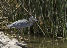 Great blue heron in the wild Royalty Free Stock Images