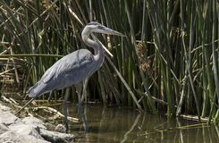 Great blue heron in the wild Royalty Free Stock Image