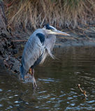 Great blue heron on windy day Stock Photography